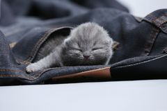 White kitten in jeans pocket. British Shorthair kitten hiding sitting in a blue jeans pocket. Cute face Royalty Free Stock Images