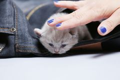 White kitten in jeans pocket. British Shorthair kitten hiding sitting in a blue jeans pocket. Cute face Royalty Free Stock Photo