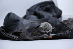 White kitten in jeans pocket. British Shorthair kitten hiding sitting in a blue jeans pocket. Cute face Royalty Free Stock Photos