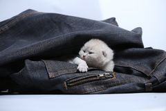 White kitten in jeans pocket. British Shorthair kitten hiding sitting in a blue jeans pocket. Cute face Royalty Free Stock Photography