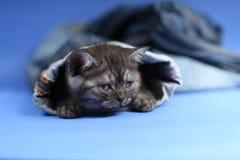 British Shorthair kitten. British Shorthair hiding sitting in a trouser leg, blue jeans Stock Image