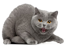 British Shorthair kitten hissing, 2 years old Stock Photos