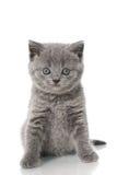 British shorthair kitten. Isolated on white Stock Photography