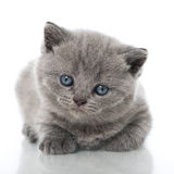 British shorthair kitten Royalty Free Stock Image