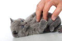 British shorthair kitten. Isolated on white Royalty Free Stock Photos