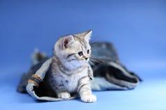 British Shorthair kitten in jeans. British Shorthair hiding sitting in a trouser leg, blue jeans Stock Images