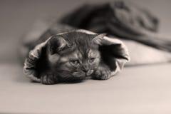 British Shorthair kitten in jeans. British Shorthair hiding sitting in a trouser leg, blue jeans Royalty Free Stock Photo