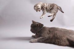 British Shorthair kitten. Jumping on her mother, studio shot Stock Images