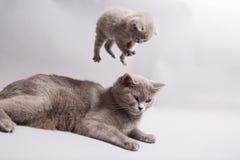 British Shorthair kitten. Jumping on her mother, studio shot Royalty Free Stock Photography