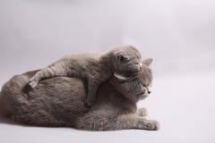 British Shorthair kitten Royalty Free Stock Photography