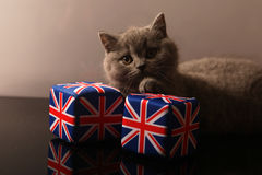British Shorthair kitten. S playing with Union Jack dies Royalty Free Stock Photos