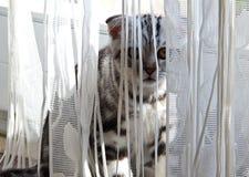 British Shorthair kitten. Little kitten looks because of curtains Royalty Free Stock Images