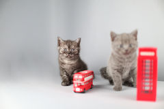 British shorthair kitten, London souvenirs Stock Images
