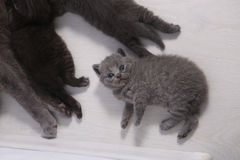 British Shorthair kitten looking at the camera Stock Photography