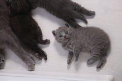 British Shorthair kitten looking at the camera Royalty Free Stock Image