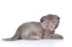 British shorthair kitten looking at camera.  on white Royalty Free Stock Image
