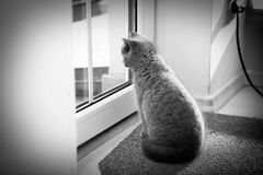 British Shorthair kitten looking on the window Stock Photo