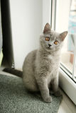 British Shorthair kitten looking on the window Royalty Free Stock Photo