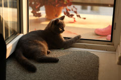 British Shorthair kitten looking on the window Royalty Free Stock Images