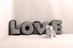 British Shorthair kitten and LOVE letters. Cute British Shorthair kitten portrait, LOVE letters on background, copyspace Stock Photography
