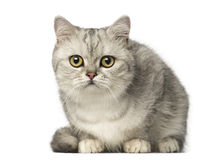 British Shorthair kitten lying and looking at the camera Royalty Free Stock Image