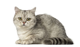 British Shorthair kitten lying and looking at the camera Stock Images
