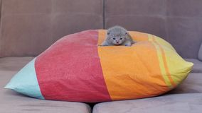 Small kitten sleeping on a pillow Royalty Free Stock Image