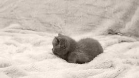 Kitten sitting on a white throw, isolated portrait. British Shorthair kitten lying on a white throw stock video