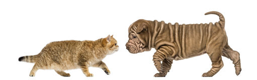 British shorthair kitten meeting a sharpei puppy. Isolated on white Royalty Free Stock Photos