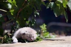 Kitten meows in the garden. British Shorthair kitten meow in the garden among green leaves stock images