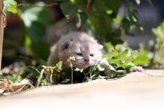 Kitten meows in the garden. British Shorthair kitten meow in the garden among green leaves stock photo