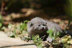Kitten meows in the garden. British Shorthair kitten meow in the garden among green leaves stock image