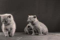 British Shorthair kitten meow. Ing on a wooden background,  portrait, copy space Stock Photo
