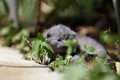 Kitten meows in the garden. British Shorthair kitten mewo in the garden among green leaves stock photo