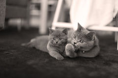 British Shorthair kitten with mother on a small carpet Royalty Free Stock Photography