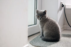 British Shorthair kitten near the window Stock Photography