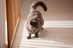 British Shorthair kitten near the window Royalty Free Stock Image