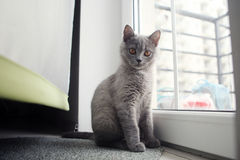 British Shorthair kitten near the window Stock Photo