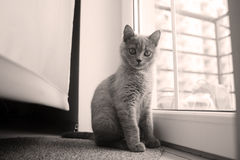 British Shorthair kitten near the window Royalty Free Stock Photos