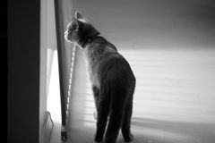 British Shorthair kitten near the window Royalty Free Stock Photo