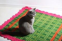Free British Shorthair Kitten On Rug Stock Image - 59130881