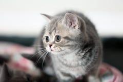 A British Shorthair Kitten Royalty Free Stock Photography