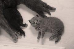 British Shorthair kitten ooking up, full portrait Stock Photography