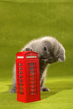 British Shorthair kitten and a phone booth Royalty Free Stock Image