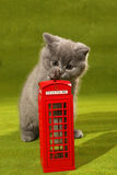 British Shorthair kitten and a phone booth Royalty Free Stock Photo
