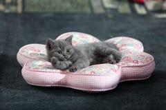 British shorthair kitten on pillow Royalty Free Stock Image