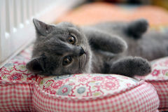 British Shorthair kitten on a pillow Stock Images
