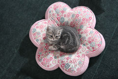 A British Shorthair Kitten Stock Photography