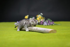 British Shorthair kitten playing with a branch Stock Photos