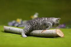 British Shorthair kitten playing with a branch. Of tree, tree trunk on a green background Royalty Free Stock Photo